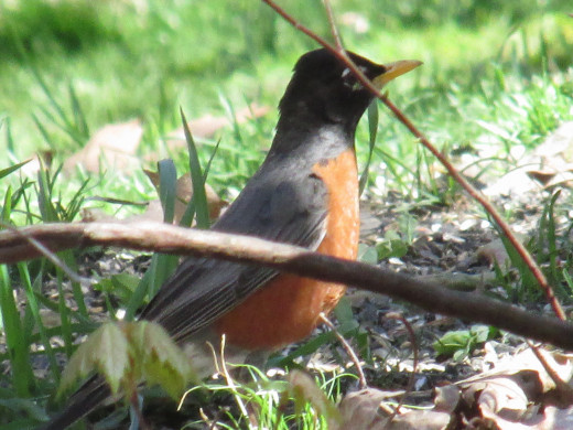 Male Robin hunting for food, possibly ants!