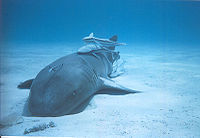 Remora cleaning Nurse Shark