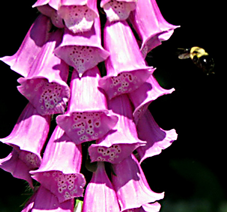 Foxglove (digitalis) adds height to an early summer garden and bees and humming birds love them.