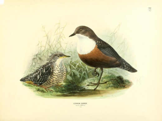 History of the birds of Europe  {1871-1881}