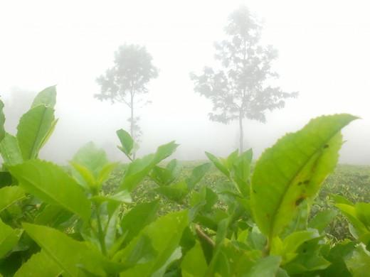 Tea Gardens- Coonoor