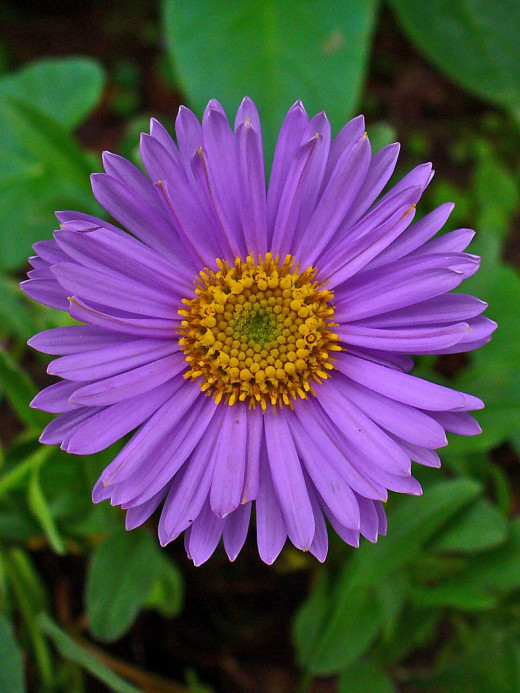 The purple aster closely resembles the purified solar plexus.