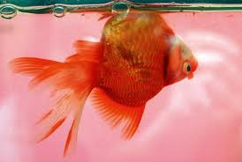 Swim bladder disease (note that the fish my still be alive while upside down, though it will not live very long)