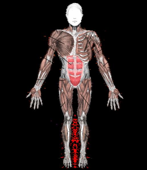 Anterior muscle diagram
