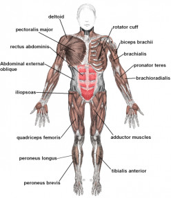 Learn About Skeletal Muscles for Kids