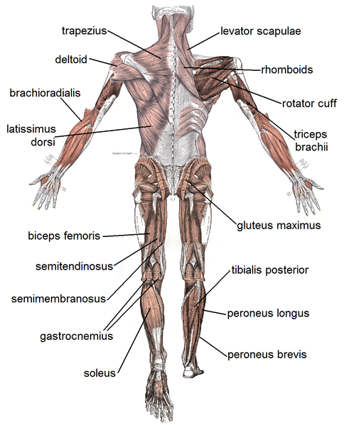 Posterior muscle diagram