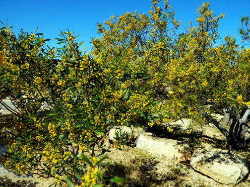 Young olive trees flowered in Madaba