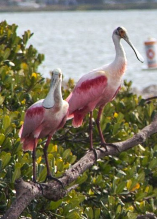Roseate Spoonbills along the waterway.