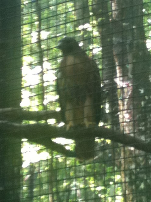 A once wounded hawk that now lives in the sanctuary at the park. It's very educational touring the Wildlife refuge at Oak Mountain.