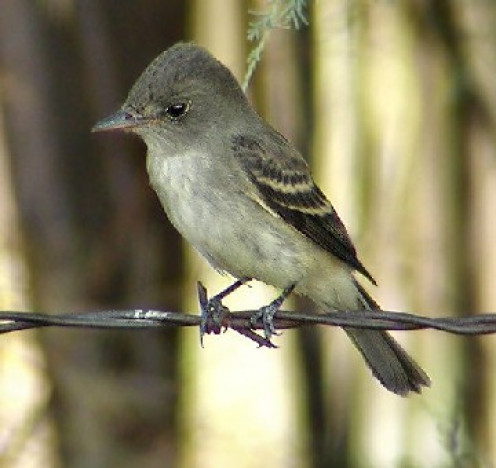 Southwestern willow flycatcher