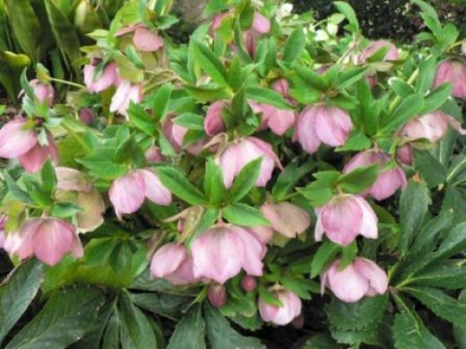 How To Plant And Care For Lenten Roses Dengarden