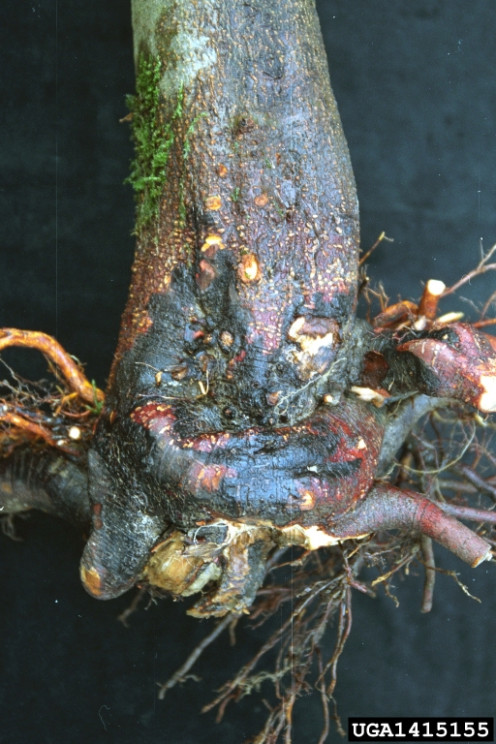 Phytophthora root and crown rot,