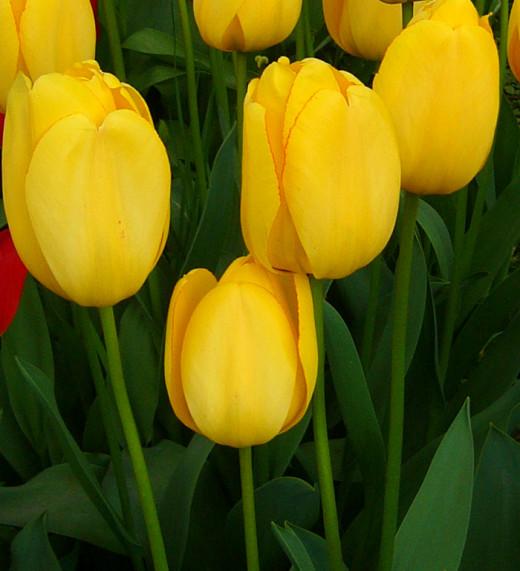 Tulip 'Golden Apeldoorne'