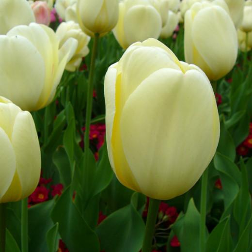 Tulip 'Ivory Floridale'