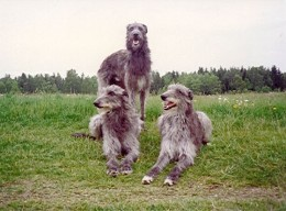 A trio of deerhounds - which one is Bran? His wife regained her human shape, but would Fionn mac Cumhaill ever learn of the fate of his sons?