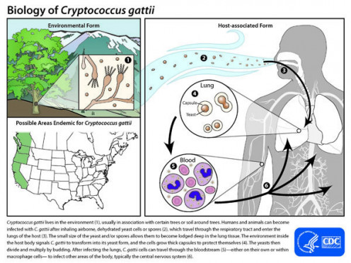 According to the CDC, Cryptococcus gattii lives in the environment (1), association with certain trees or soil around trees. Humans and animals can become infected with C. gattii after inhaling airborne, dehydrated yeast cells spores.