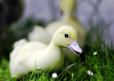 Never release a domestic duck into the wild.