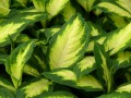 How to Propagate a Dieffenbachia Plant Using Cuttings