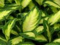 How to Propagate a Dieffenbachia Plant Using Cuttings