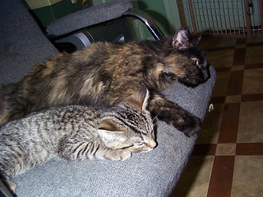 This is CoCo a long haired tortoise shell cat and one of her kittens a short-haired tabby.
