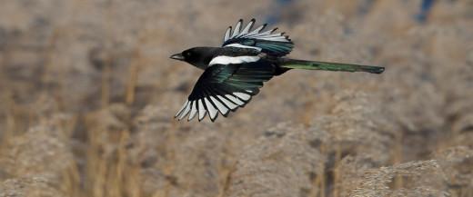 Magpie in flight.