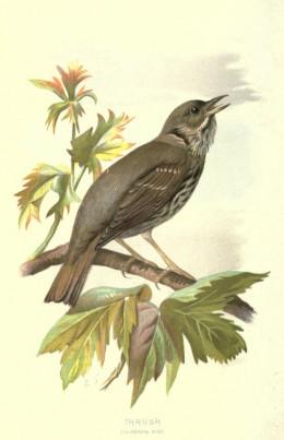 Familiar wild birds Swaysland { 1883}