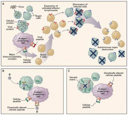 A diagram on how aplastic anemia works.