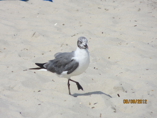 A seagull walking in the hot sand.