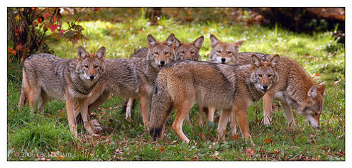Do you know what a group of coyotes is called?