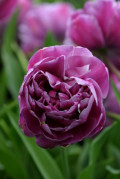 Double Late Tulips - The Rose or Peony Tulip