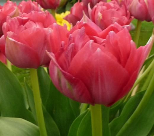Tulip Erfurt