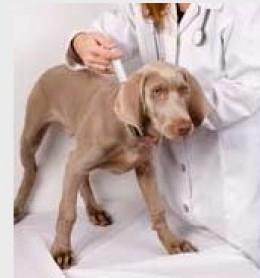 Dog fine needle aspiration