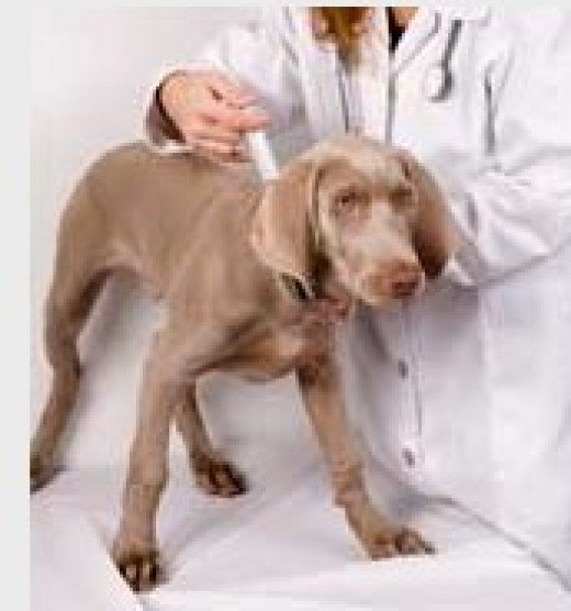 Dog fine needle aspiration