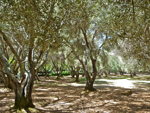 Beautiful, stately olive trees are a good source of shade, nutrition and wood.  They can be compared to a mother who asks nothing in return.