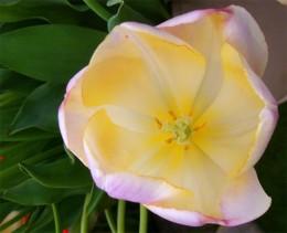 Tulip 'Wendy Love'