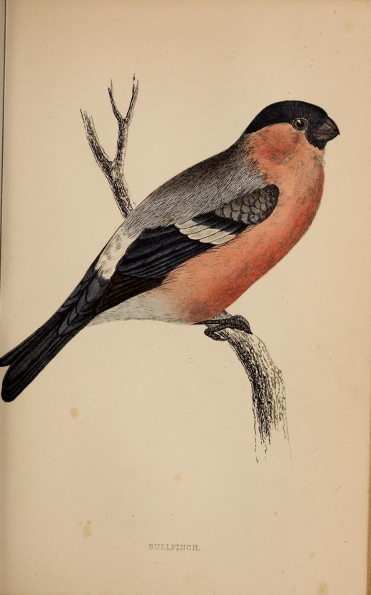History of British Birds Rev.Morris {      }