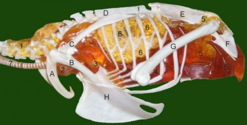 airsacs of a Common Kestrel (Falco tinnunculus) 1 cervical air sac, 2 clavicular air sac, 3 cranial thoracal air sac, 4 caudal thoracal air sac, 5 abdominal air sac (5' diverticels into pelvic girdle), 6 lung, 7 trachea, A clavicula (furcula), B cora