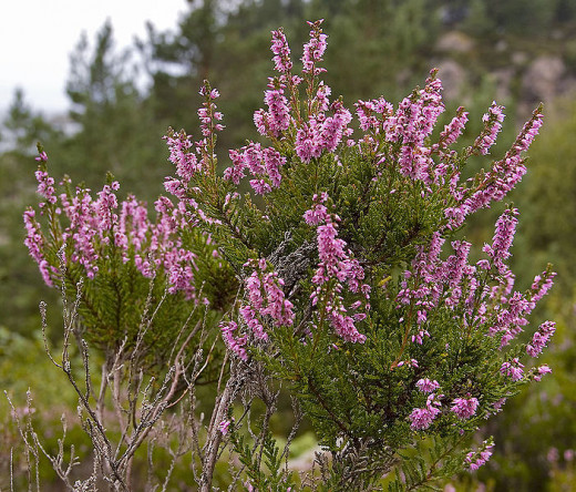 Heather is a purple-flowered perennial shrub and a popular name for girls.