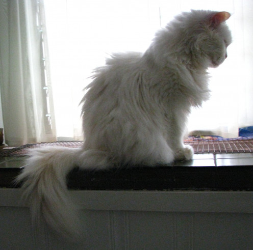 Boo-Boo sitting on our windowsill checking the occasional bird, lizard, bug or leaf that comes by--none of which she can get at. It's stimulus for her. Love her Persian profile.