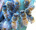 Plant Bergamot Monarda, Save Bees