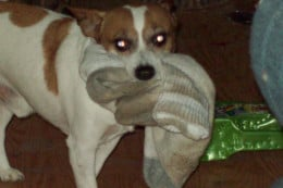 Whimpy loves dirty socks.  How he puts anything as nasty as my husband's socks in his mouth, I don't know.
