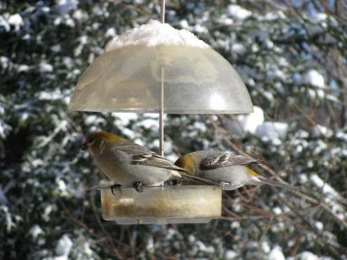 Pine Grosbeak, females. Lake Notre-Dame, Montfort, Wentworth-Nord, Quebec, Canada.