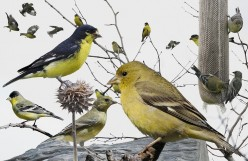 Lesser Goldfinch [or Dark-backed Goldfinch] – facts, photos and more