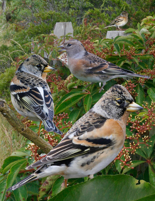 Brambling From The Crossley ID Guide Eastern Birds