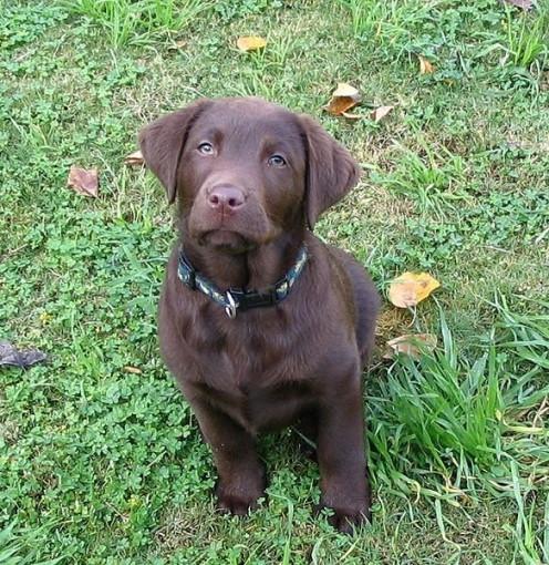 Ten-week-old chocolate Labrador Retriever.