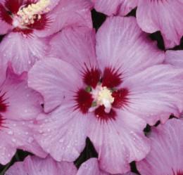 Rose of Sharon (Hibiscus, syriacus)