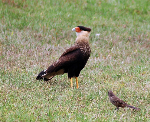 Southern Caracara & Chalk-browed Mockingbird