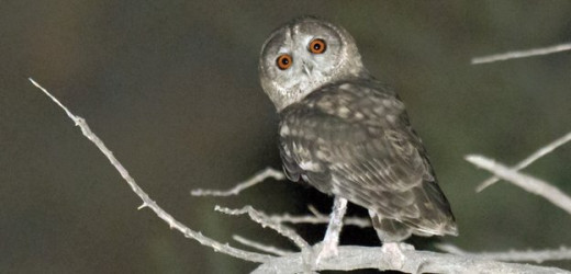 New Owl Species in Oman?