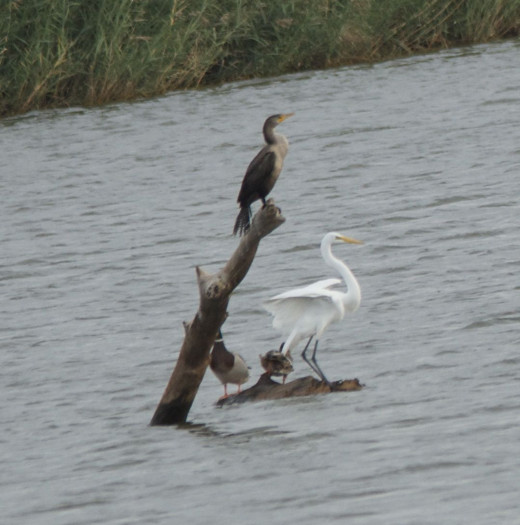 Double-crested Cormorant(top) and Great Egret