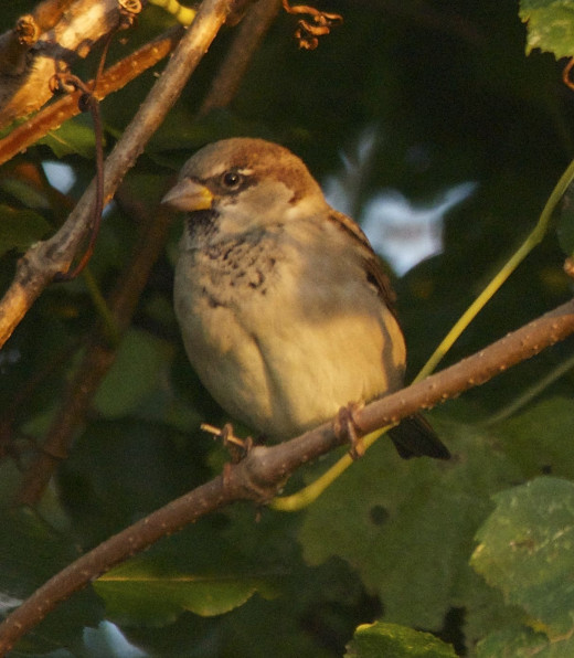 Immature Male House Sparrow